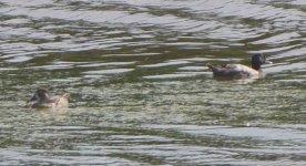 Ducks 2 P1170203.JPG