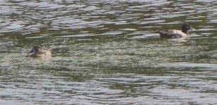 Ducks 3 P1170205.JPG