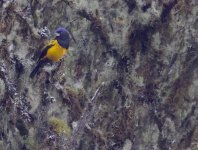Golden-backed Mountain-Tanager. Bosque Unchog. Nov 22, 2020. Gunnar Engblom AK3A6632.jpg