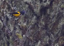 Golden-backed Mountain-Tanager. Bosque Unchog. Nov 22, 2020. Gunnar Engblom AK3A6627 copy.jpg