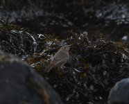 Black Redstart_Girdle Ness_251120a.jpg