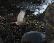 Black Redstart_Girdle Ness_251120b.jpg
