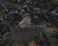 Black Redstart_Girdle Ness_251120c.jpg