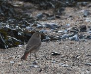 Black Redstart_Girdle Ness_251120d.jpg