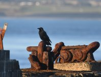 Carrion Crow_Girdle Ness_251120a.jpg