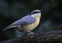 Nuthatch on perch Nov 20_04_print.jpg