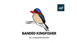 banded kingfisher.png