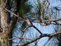 10 Eastern Bluebird.jpg