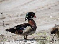 8 Wood Duck.jpg