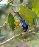 _Purple honeycreeper.jpg