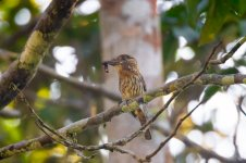 _Western Striolated Puffbird.jpg