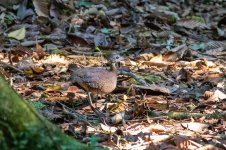 _White-throated tinamou.jpg