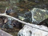 Black Throated Blue Warbler female .JPG
