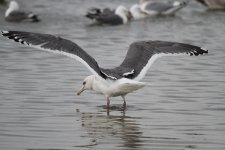 SlatybackedGull_(near)ad_Choshi_Japan_20120307_052.JPG