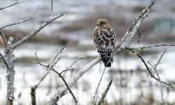 Washington State Hawk.jpg