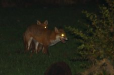 20210107 (1)_Red_Foxes_Mating.JPG