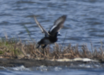 Scaup1.png