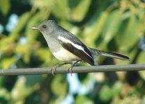 Magpie-Robin Female.jpg