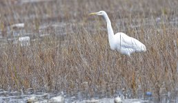 Great Egret or Great Blue (white phase).jpg