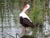 White and Glossy Ibis.jpg