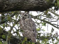 Great-Horned Owl.jpg