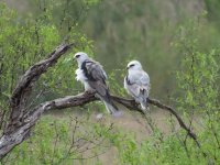 White-tailed Kites.jpg