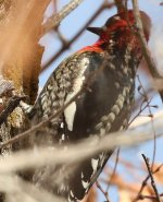 Red-naped Sapsucker small.jpg