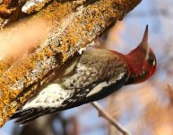 Red-naped Sapsucker11 small.jpg