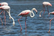 Greater Flamingo nam 5.jpg