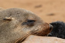 Cape Fur Seal nam 4.jpg