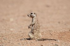 Southern African Ground Squirrel nam 2.jpg