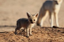 Bat-eared Fox nam 2.jpg