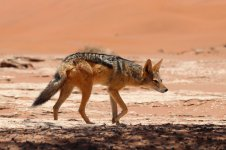 Black-backed Jackal nam 3.jpg