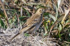 Olive-backed Pipit .jpeg