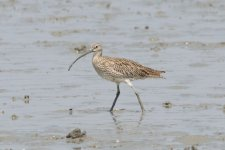 Far Eastern Curlew? or Eurasian Curlew  (1).jpeg