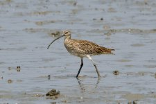 Far Eastern Curlew? or Eurasian Curlew - Pant-edit.jpeg