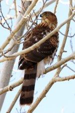 Sharp-shinned Hawk crop.jpg