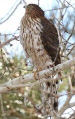 Sharp-shinned Hawk10 crop.jpg