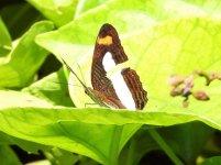 Butterfly Cuba 3 (2).JPG