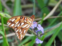 Butterfly Cuba 4 (2).JPG