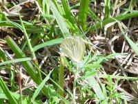 Butterfly Cuba 6.JPG