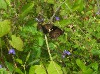 butterfly cuba 9 (2).JPG