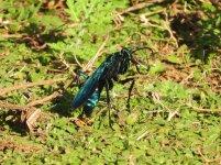 a wasp.JPG