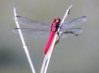 Dragonfly Cuba.JPG