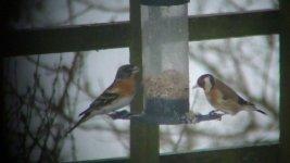 garden birds 006.JPG