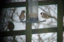 garden birds 010.JPG