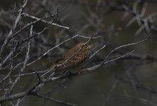 karoo np warbler.jpg