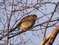 GARDEN 21,1,31 blackcap in birch, Bird Watch 2.JPG