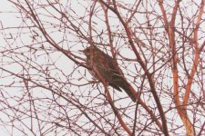 GARDEN 21,1,31 redwing, Bird Watch 6.JPG