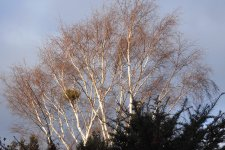 GARDEN 21,1,31 lovely light on birch 14.JPG